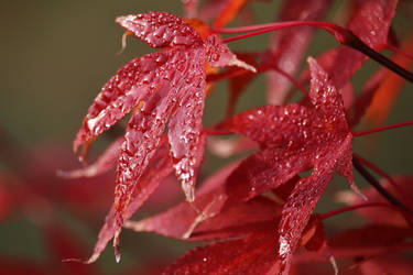 autumnal red by Dieffi