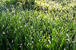 Dewdrop Grass by Felewin