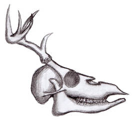 Deer skull practice by Black-Helbi