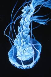 Blue Jelly PRINT by crazycolleeny