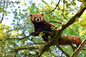 Zurich Zoo - Red Panda II by Rela1985
