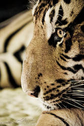 Tiger 2 by photogenic-art
