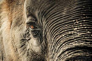 Elephant I by photogenic-art