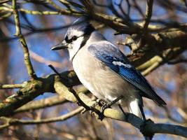 Blue Jay by davincipoppalag