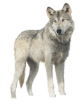 Jericho, Wolf PNG by RAYNExstorm