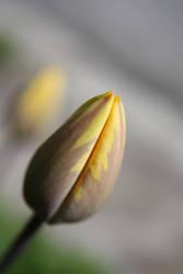 a tulip by yamborko