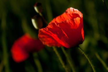 poppy flowers by yamborko