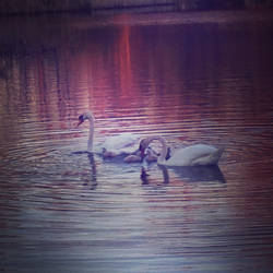 A Family of Swans by BrennaxAdaira13