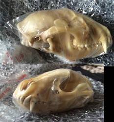 Raccoon Skulll by Zoodermy