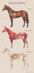Equine Anatomy by PonyCool42