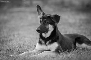 East-European Shepherd by Delariz