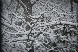 Snowy Branches by CarlMillerPhotos