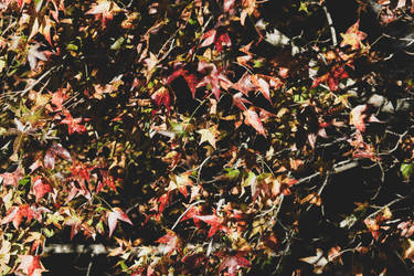 Fall Leaves 181110 by CarlMillerPhotos