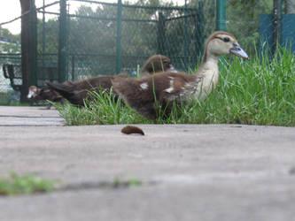 Baby Duck by SammyKouhai25