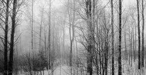 Misty Forest Trees by Pajunen