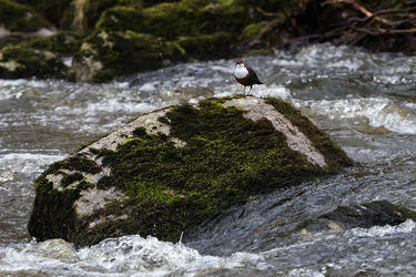 White-throated dipper by Mentos18