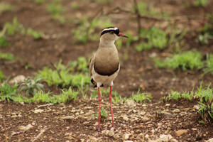 Crowned lapwing - KNP, South Africa by Paddy16