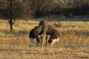 Ostrich female - Kalahari, South Africa by Paddy16