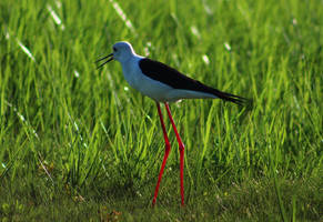Black-winged stilt - Port Elizabeth, South Africa by Paddy16