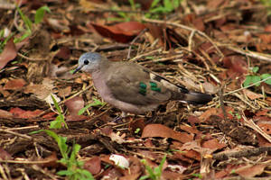 Emerald-spotted wood-dove - KNP, South Africa by Paddy16