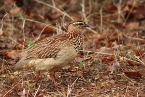 Crested francolin - KNP, South Africa by Paddy16
