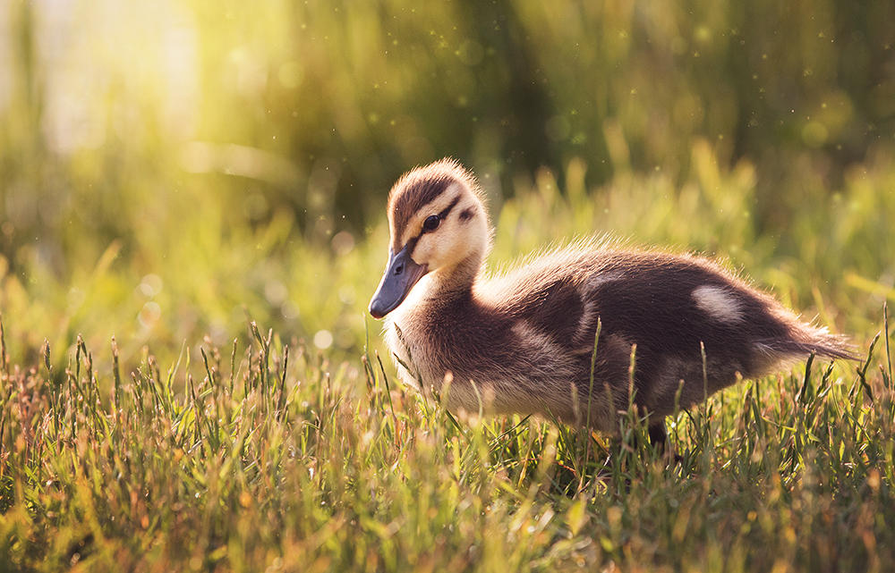 Little duckling by Thunderi