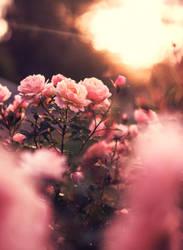 autumn roses by Thunderi