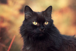 look of a black cat by Thunderi