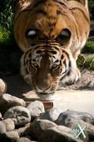 Tiger - Eye Contact by IanStruckhoff