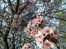 Plum Blossom II by DominosAreFalling