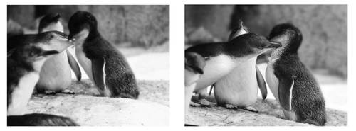Penguin Affection by AuroraMist