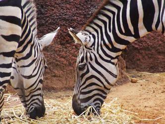 Zebras by AuroraMist