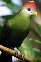 Red-crested Turaco by lokinst