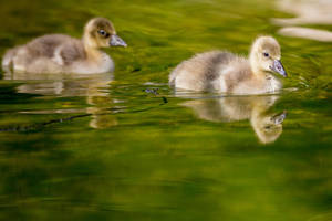 gosling by lokinst