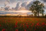 Poppy Field - Mohnfeld in Bayern by StefanPrech
