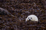 Baby Seal by Goldzwerg
