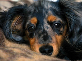 dachshund puppy by polovets