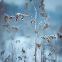 ...catch the frost XII... by JoannaRzeznikowska