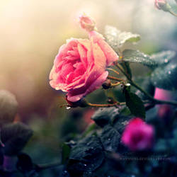 Roses Wrapped in Dusk by MarsiaMS
