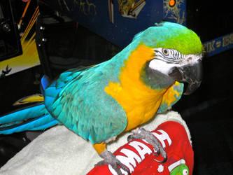 Tiki The Macaw by Urvy1A