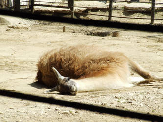 Laisy Llama by CoraCee