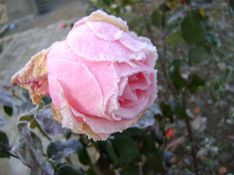 Roses by Skyrana
