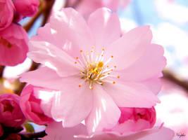 rose spring by Niophee