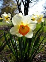 daffodil as the sun by Niophee
