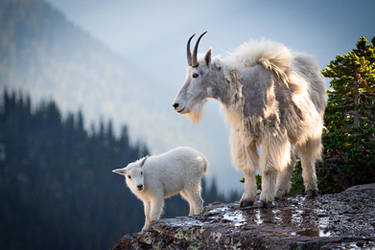 Mom and Baby Mountain Goat by StevenDavisPhoto