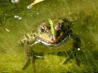 Frog. by Alik-Volga
