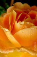 Rose I by SWeeT-Ini