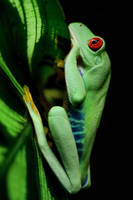 Red-eyed tree frog by MireilleLeurs