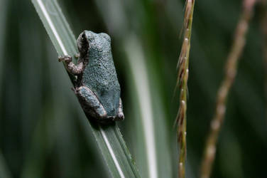 Frog by KateSchuster