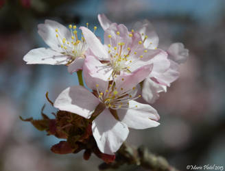 Cherry Blossoms III by marytchoo